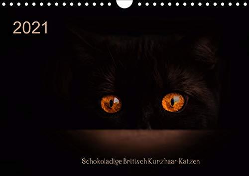 Schokoladige Britisch Kurzhaar Katzen (Wandkalender 2021 DIN A4 quer)