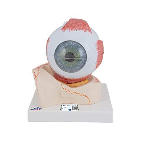 3B Scientific F11 Modelo de anatomía humana Ojo, 5 Veces el Tamaño Natural, 7 Piezas + software de anatomía gratuito - 3B Smart Anatomy