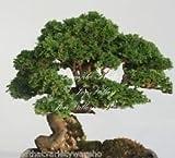 Semillas Chamaecyparis obtusa Hinoki Cypress Grandes de Bonsai suave follaje Fácil (10)