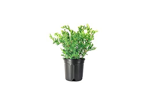 San Jose Juniper | 3 Live Gallon Size Plants | Juniperus Chinensis | Bonsai Drought Tolerant Cold Hardy Evergreen Groundcover