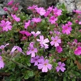 Best erinus alpinus seeds Reviews
