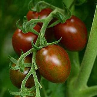 Details About Tomato Chocolate Sprinkles 100 Seeds Need More? Ask