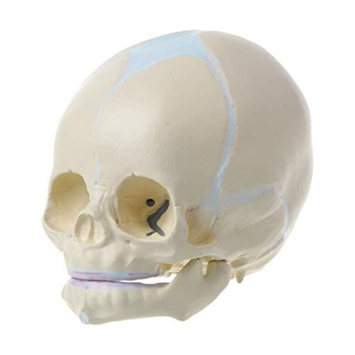 Yiwann 1: 1 modelo de esqueleto anatómico de cráneo médico del bebé fetal humano, suministros de enseñanza para la herramienta de aprendizaje de ciencias médicas