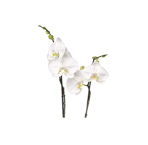 Stk - 1x Phalaenopsis Hybride weiss Übertopf Orchidee Zimmer Pflanze OW234 - Seeds Plants Shop Samenbank Pfullingen Patrik Ipsa