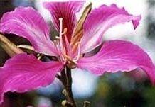 5 graines de l'arbre papillon FA47 (Bauhinia purpurea)
