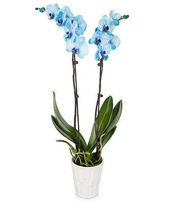 Plants - Blue Orchids (Free Pot Included)