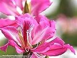 Confezione contiene un set di semi Plat firm-semi bauhinia purpurea purple orchid albero 30 semi Spedizione internazionale L'immagine è solo un'indicazione di tipo Semi ad alto tasso di germinazione