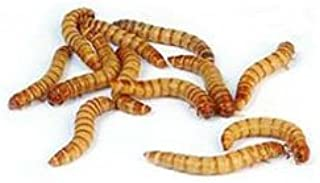 2000 Live Mealworms, Reptile, Birds, Chickens, Fish Food (Large)