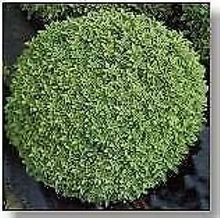 Basil Minette Dwarf Fine Bush Ocimum basilicum 2,000 Seeds
