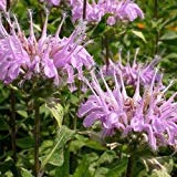 Mintleafビーバームハーブ種子(Monarda Fistulosa)50個の+種子(100+)