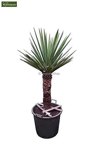 Bajonett Yucca Palmlilie - Yucca treculeana - Stamm 50-60cm Topf Ø 55cm Speditionsversand