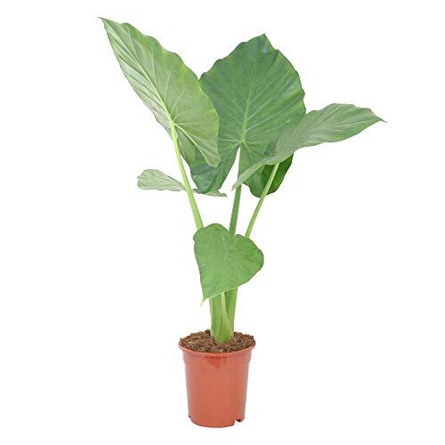 BAKKER - Zimmerpflanzen in Macrorrhizos 40-50cm, Größe 40-50 cm