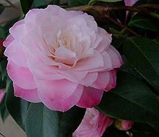 SANHOC Seeds Package: Camellia Nuccios Pearl ? in 9cm PotSEED