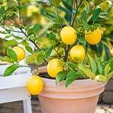 Dwarf Meyer Lemon Trẹẹ SẸẸDS - 10 Séẹds