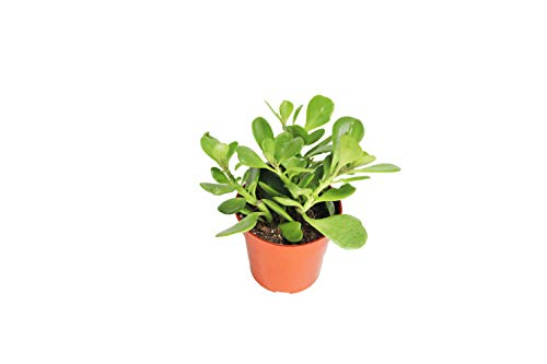 Trailing Jade - 4'' from California Tropicals