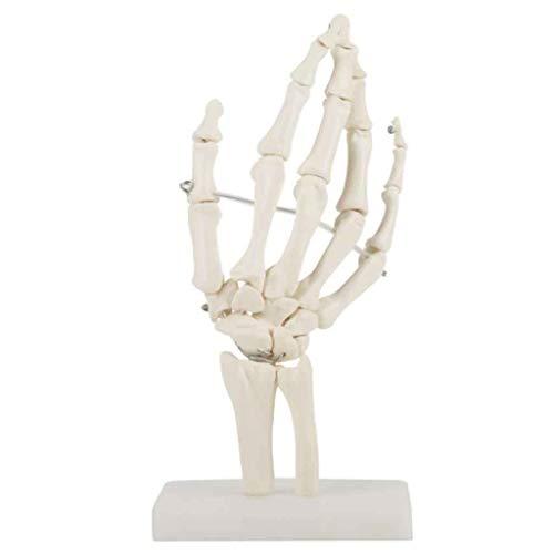 Momomomo Professionelle Hand Joint Anatomische Skelett-Modell for Medizinische Ausbildung