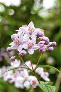 Deutzia hybrida 'Mont Rose' Rosendeutzie im Topf gewachsen (60-100cm)