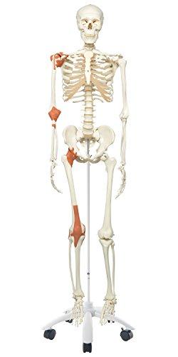 3B Scientific Menschliche Anatomie Skelett Leo - mit Gelenkbändern auf Metallstativ - Lebensgroß, inkl. kostenloser Anatomiesoftware - A12 als Lernmodell oder Lehrmittel - 3B Smart Anatomy