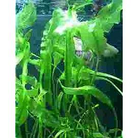 Aponogeton Ulvaceus, gewellte Wasserähre, Knolle