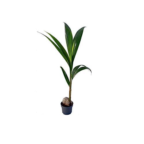 Planta Palmera Cocotera natural en maceta de Ø19cm (altura aproximada 1m) Verdecora