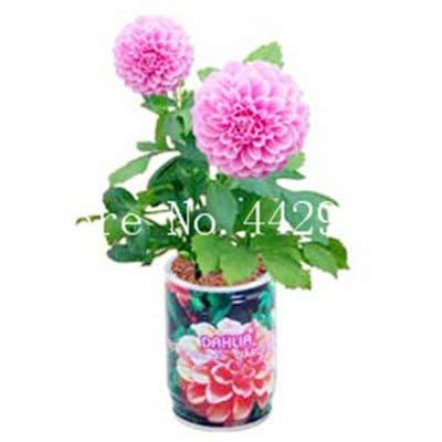 GETSO Heißer Verkauf-100 PC/Bag Dahlia Bonsai Erbstück Topf Dahlie-Blumen, Bonsai-Anlage für Hausgarten-DIY Topfpflanze Freien Verschiffen: 8