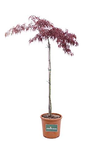 Pianta di Acero Palmato Albero di Acero Palmatum pianta da esterno pianta pianta da giardino pianta di Acero Ornamentale pianta vera di Acero venduta da eGarden.store (Dissectum v25)