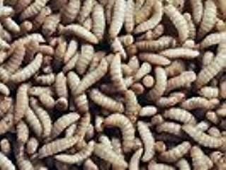 KBM FEEDERS Black Soldier Fly Larvae 500 Count
