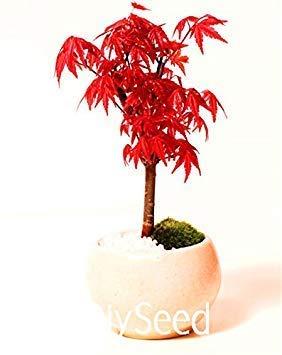 Vistaric Arbre de Rouge Japonais bonsaï érable Rouge Graines économiques, Mini Graines de bonsaï, 20/boîte, Très Beau Sapin Couvert, knkmw