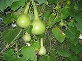 Alick 105pcs Gourd Dipper Semillas de mango largo (Lagenaria siceraria) semillas de hortalizas