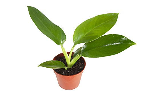 Philodendron Imperial Green – 4″ from California Tropicals