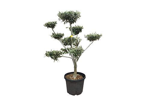 Olivenbaum - Pon Pon - 140/160 cm - winterhart - Formschnitt - stammumfang 16/20cm