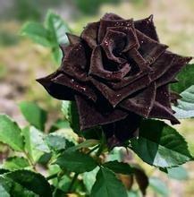50 Graines Rose Noire - avec bord rouge, couleur rare, jardin de fleurs populaires Graines vivaces Bush ou Bonsai Fleur 13