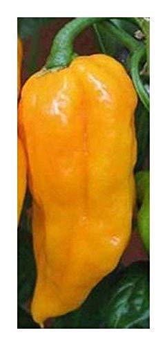 SANHOC Samen-Paket: Chilialii - Paprika - 10 seedsSEED