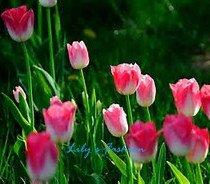 100pcs graines Tulip, Tulip agesneriana, aromatiques graines de fleurs des plantes en pot plus belles plantes de tulipes vivaces Garden 2