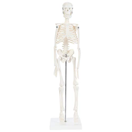 """Anatomy Lab Human Skeleton Model, 19"""" Desktop Skeleton Has Movable Arms and Legs, Details Basic Human Skeletal System, Includes 1 Year Warranty and Display Stand"""