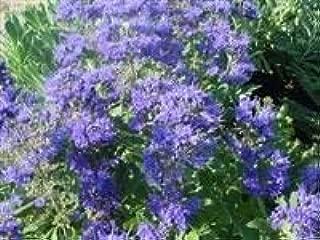 Caryopteris x clandonensis Kew Blue - Bluebeard
