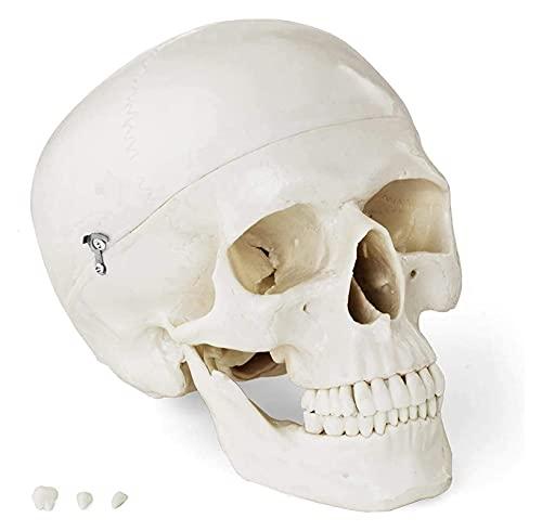 JKFZD Modelo anatómico Modelo de cráneo anatómico Modelo 3D Altamente Hecho de plástico Especial para Medicina y educación