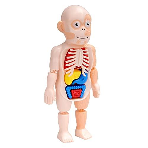 Körpermodell-Montagespielzeug,Medizinische Schulungsmaterialien,Wissenschaft Bildung Menschliches Organ Modell DIY Montage Spielzeug,des Menschlichen Organs,puzzel spiele