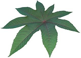 CASTOR BEAN ricinus communis red, green, pink color mix mole repellent 50 seeds