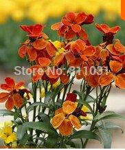 Cheiranthus semences cheiri, wallflower commun, des graines de plantes aromatiques environ 50 particules bonsaï plante