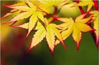 Coral Bark Japanese Maple Acer palmatum 'Sango Kaku' 3 - Year Live Plant Brilliant Red Bark is Bright Red, Year Round Beauty With a Spectacular Range of Leaf Colors