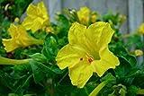 Fash Lady Graines de quatre heures jaunes, graines de fleurs d'hÃritage non-Gmo, fleurs annuelles 75ct