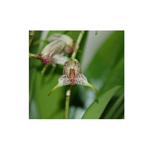 Stk - 1x Masdevallia amanda Miniatur Orchidee Pflanze OW103 - Seeds Plants Shop Samenbank Pfullingen Patrik Ipsa