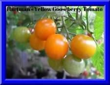 Hartman JAUNE TOMATE GOOSEBERRY! 20 graines! ABSOLUMENT DELIOIOUS! COMBINE S/H
