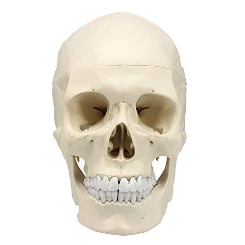 Almabner Modelo de cráneo humano, réplica de tamaño real anatomía médica modelo de adulto, réplica anatómica de arte modelo de cráneo humano