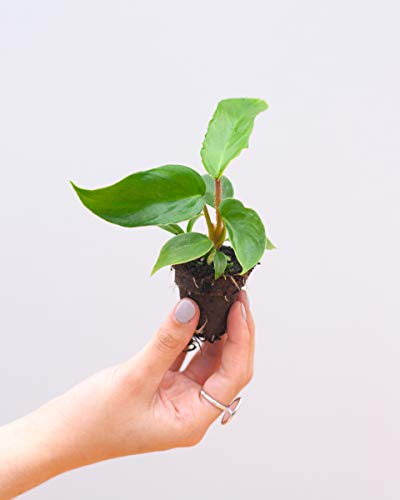 Squamiferum Philodendron S - BabyPLNTS Collection