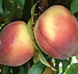 Belle of Georgia Peach- Live Fruit Tree Shipped 3 to 4 Feet Tall by DAS Farms (No California)