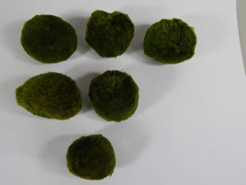 SAHAWA Mooskugeln im Set 3-5 cm, Cladophora aegagropila, Cladophora-Ball, Marimo, Algenball, Wasserfplanzen Set 2 (5+1)