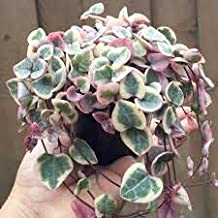 String of Hearts Ceropegia Woodii 3 Seeds * Very Rare Flowering Plant