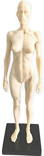 HUBERY MODEL 11 Inch Female Human Model F Art 5 popular of free shipping Anatomy